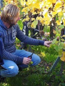 Druiven oogsten bij wijngaard Martinus in Vijlen, Zuid-Limburg3